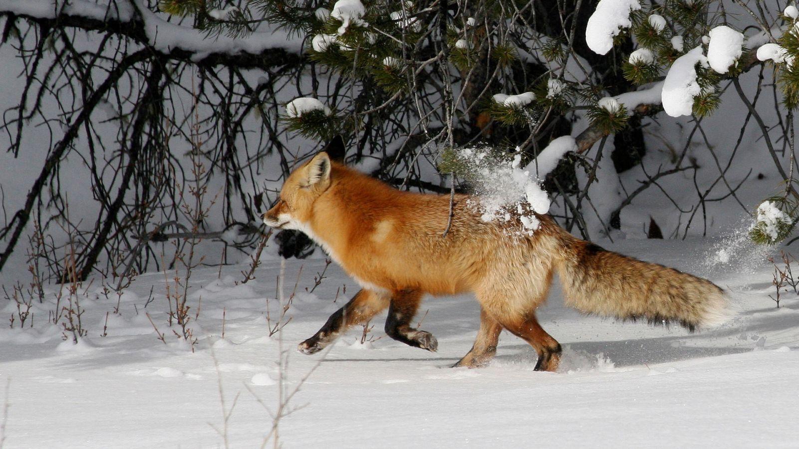 Laurette Renard : Fox des neiges